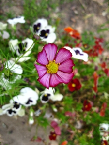 cosmos-above-pansies_2478956830_o